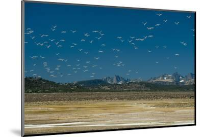 Gulls Fly over an Alkaline Pond in the Sierra Nevada Near Mammoth Lakes, California-Gordon Wiltsie-Mounted Photographic Print
