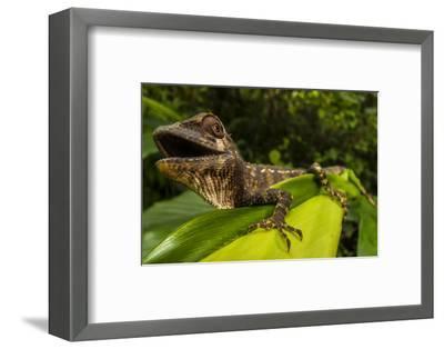 A Lizard in Sri Lanka-Cristina Mittermeier-Framed Photographic Print