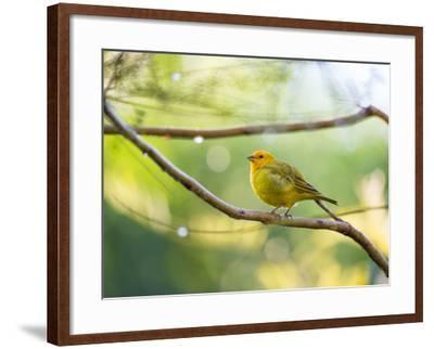 A Saffron Finch, Sicalis Flaveola, Resting in a Tropical Scene in the Atlantic Rainforest-Alex Saberi-Framed Photographic Print