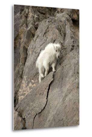 A Young Mountain Goat, Oreamnos Americanus, Moving Along a Rocky Ledge-Robbie George-Metal Print