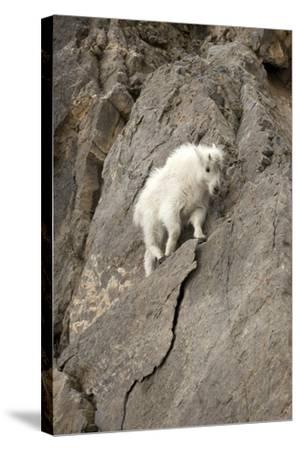 A Young Mountain Goat, Oreamnos Americanus, Moving Along a Rocky Ledge-Robbie George-Stretched Canvas Print