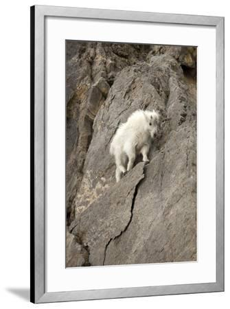 A Young Mountain Goat, Oreamnos Americanus, Moving Along a Rocky Ledge-Robbie George-Framed Photographic Print