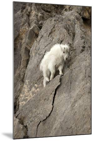 A Young Mountain Goat, Oreamnos Americanus, Moving Along a Rocky Ledge-Robbie George-Mounted Photographic Print