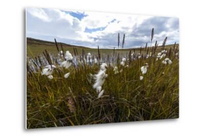 Fluffy Cottongrass Seed Heads Along a Stream-Jason Edwards-Metal Print