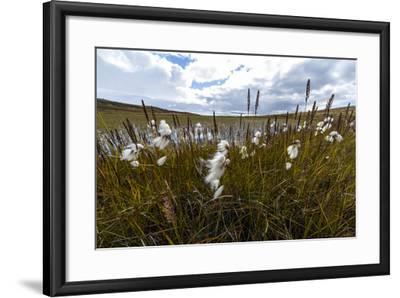 Fluffy Cottongrass Seed Heads Along a Stream-Jason Edwards-Framed Photographic Print