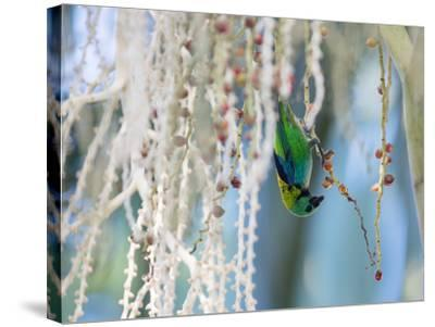 A Green-Headed Tanager Feeding on Berries of a Tree in the Atlantic Rainforest-Alex Saberi-Stretched Canvas Print