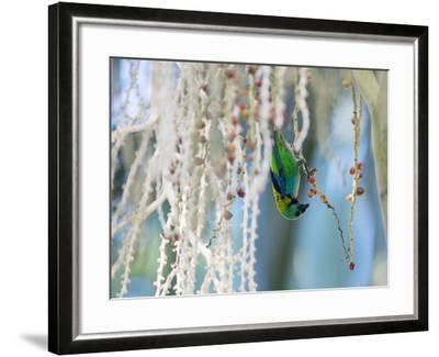 A Green-Headed Tanager Feeding on Berries of a Tree in the Atlantic Rainforest-Alex Saberi-Framed Photographic Print