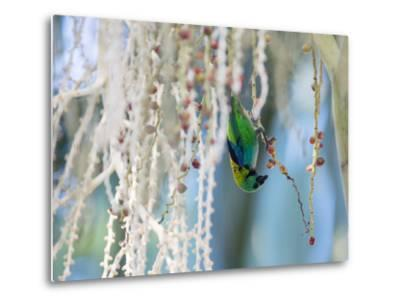 A Green-Headed Tanager Feeding on Berries of a Tree in the Atlantic Rainforest-Alex Saberi-Metal Print