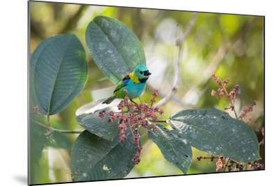 A Green-Headed Tanager Feeding on Berries of a Tree in the Atlantic Rainforest-Alex Saberi-Mounted Photographic Print