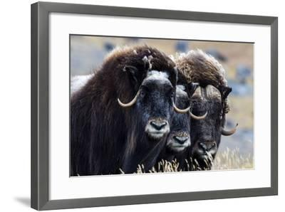 A Trio of Musk Ox Gather Together in Defensive Position on the Tundra Displaying their Horns-Jason Edwards-Framed Photographic Print