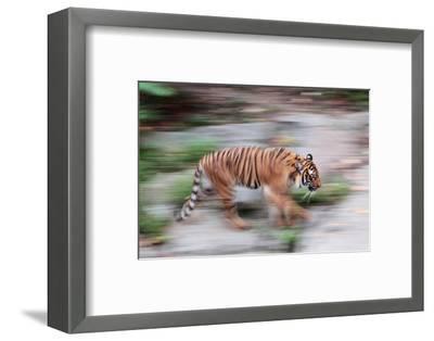 Portrait of a Captive Siberian or Amur Tiger, Panthera Tigris Altaica, an Endangered Species-Joe Petersburger-Framed Photographic Print