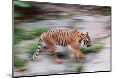 Portrait of a Captive Siberian or Amur Tiger, Panthera Tigris Altaica, an Endangered Species-Joe Petersburger-Mounted Photographic Print