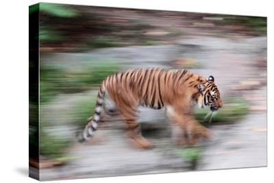 Portrait of a Captive Siberian or Amur Tiger, Panthera Tigris Altaica, an Endangered Species-Joe Petersburger-Stretched Canvas Print