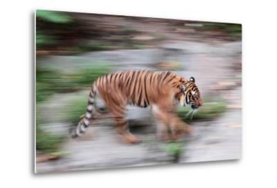 Portrait of a Captive Siberian or Amur Tiger, Panthera Tigris Altaica, an Endangered Species-Joe Petersburger-Metal Print