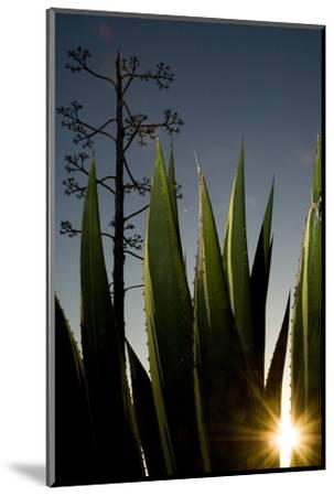 The Setting Sun Bursting Through Leaves of a Centuryplant, Agave Americana-Paul Colangelo-Mounted Photographic Print