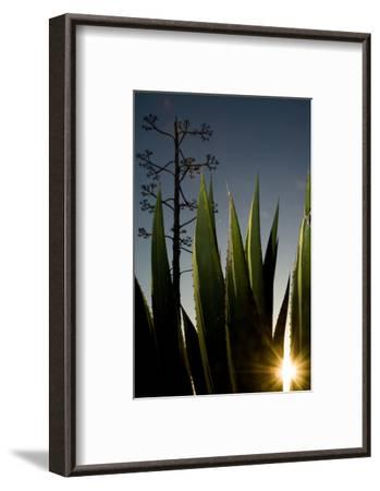 The Setting Sun Bursting Through Leaves of a Centuryplant, Agave Americana-Paul Colangelo-Framed Photographic Print