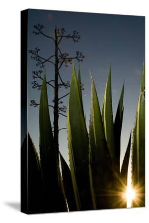 The Setting Sun Bursting Through Leaves of a Centuryplant, Agave Americana-Paul Colangelo-Stretched Canvas Print