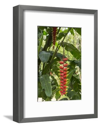Brightly Colored Heliconia Hangs Down from a Branch in a Garden-Kelley Miller-Framed Photographic Print