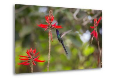 A Swallow-Tailed Hummingbird, Eupetomena Macroura, Mid Flight, Feeding from a Flower-Alex Saberi-Metal Print