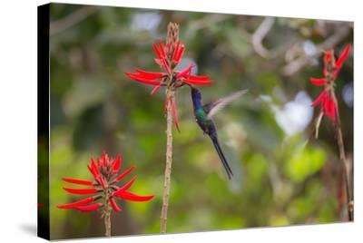 A Swallow-Tailed Hummingbird, Eupetomena Macroura, Mid Flight, Feeding from a Flower-Alex Saberi-Stretched Canvas Print