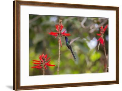 A Swallow-Tailed Hummingbird, Eupetomena Macroura, Mid Flight, Feeding from a Flower-Alex Saberi-Framed Photographic Print