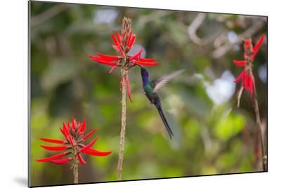 A Swallow-Tailed Hummingbird, Eupetomena Macroura, Mid Flight, Feeding from a Flower-Alex Saberi-Mounted Photographic Print
