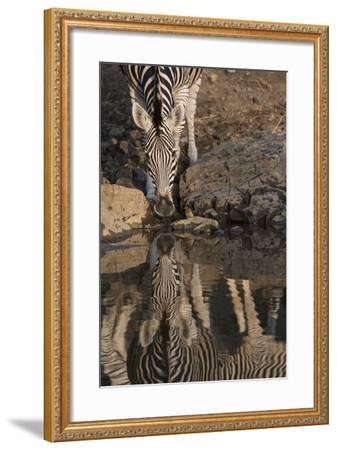 Close Up of a Zebra Drinking, and its Reflection in the Water-Bob Smith-Framed Photographic Print