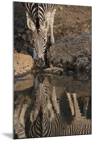 Close Up of a Zebra Drinking, and its Reflection in the Water-Bob Smith-Mounted Photographic Print