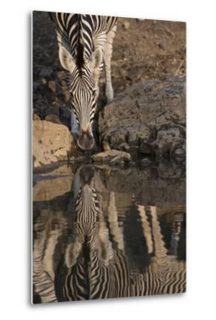 Close Up of a Zebra Drinking, and its Reflection in the Water-Bob Smith-Metal Print