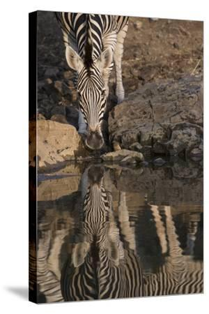 Close Up of a Zebra Drinking, and its Reflection in the Water-Bob Smith-Stretched Canvas Print