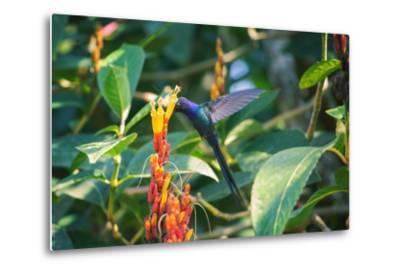 A Swallow-Tailed Hummingbird, Eupetomena Macroura, Mid Flight Feeding from a Flower-Alex Saberi-Metal Print