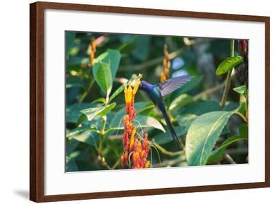 A Swallow-Tailed Hummingbird, Eupetomena Macroura, Mid Flight Feeding from a Flower-Alex Saberi-Framed Photographic Print