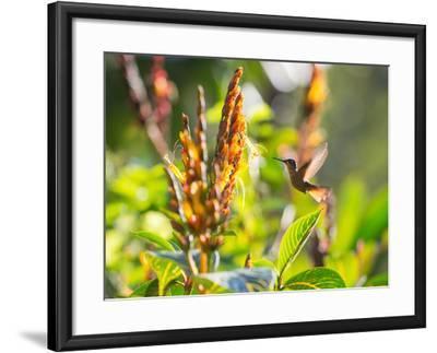 Brazilian Ruby Hummingbird, Clytolaema Rubricauda, Mid Flight Feeding from a Flower-Alex Saberi-Framed Photographic Print