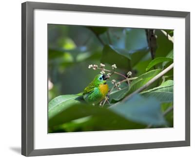A Colorful Brassy-Breasted Tanager, Tangara Desmaresti, Sits on a Branch-Alex Saberi-Framed Photographic Print
