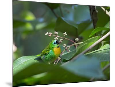 A Colorful Brassy-Breasted Tanager, Tangara Desmaresti, Sits on a Branch-Alex Saberi-Mounted Photographic Print