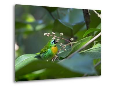 A Colorful Brassy-Breasted Tanager, Tangara Desmaresti, Sits on a Branch-Alex Saberi-Metal Print