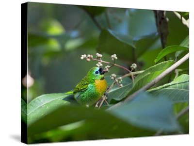 A Colorful Brassy-Breasted Tanager, Tangara Desmaresti, Sits on a Branch-Alex Saberi-Stretched Canvas Print