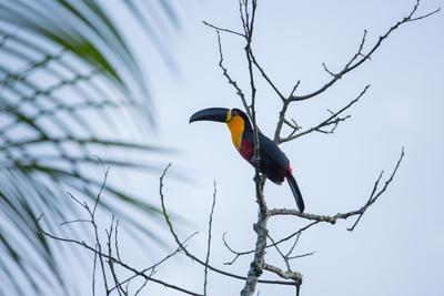 A Red-Breasted Toucan, Ramphastos Dicolorus, Waits in a Tree in Ubatuba, Brazil-Alex Saberi-Framed Photographic Print