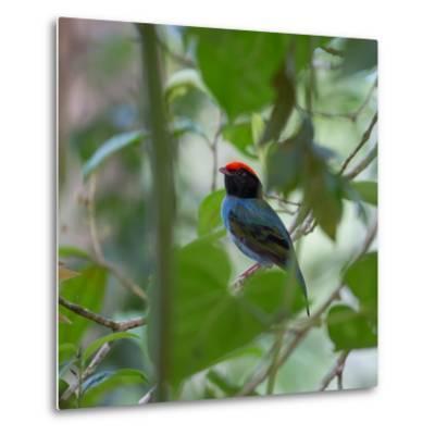A Blue Manakin, Chiroxiphia Caudata, Bird Rests on a Branch in Ubatuba, Brazil-Alex Saberi-Metal Print