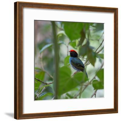 A Blue Manakin, Chiroxiphia Caudata, Bird Rests on a Branch in Ubatuba, Brazil-Alex Saberi-Framed Photographic Print