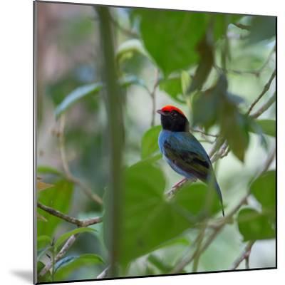 A Blue Manakin, Chiroxiphia Caudata, Bird Rests on a Branch in Ubatuba, Brazil-Alex Saberi-Mounted Photographic Print