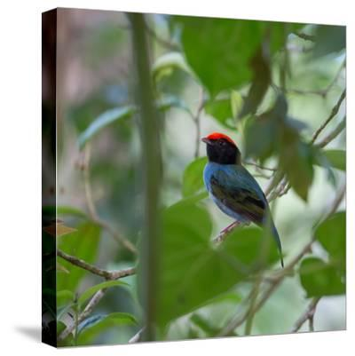 A Blue Manakin, Chiroxiphia Caudata, Bird Rests on a Branch in Ubatuba, Brazil-Alex Saberi-Stretched Canvas Print