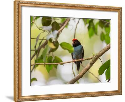 A Blue Manakin, Chiroxiphia Caudata, Bird Rests on a Branch in Ubatuba, Brazil-Alex Saberi-Framed Photographic Print