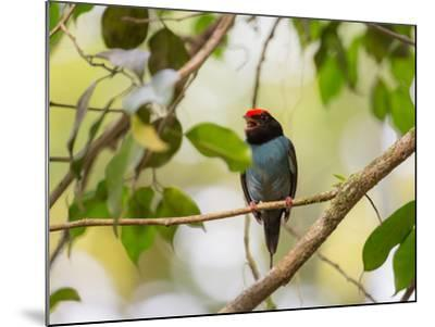A Blue Manakin, Chiroxiphia Caudata, Bird Rests on a Branch in Ubatuba, Brazil-Alex Saberi-Mounted Photographic Print