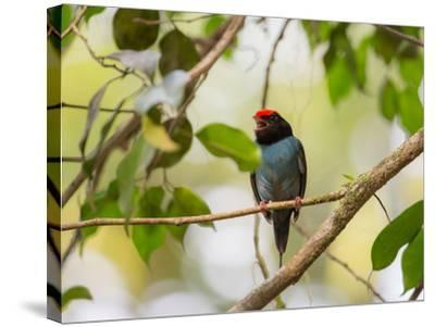 A Blue Manakin, Chiroxiphia Caudata, Bird Rests on a Branch in Ubatuba, Brazil-Alex Saberi-Stretched Canvas Print