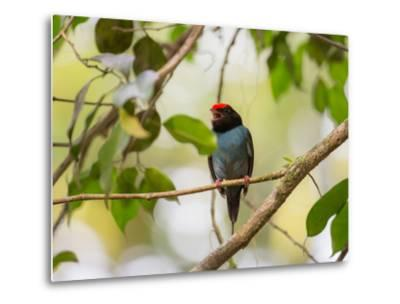 A Blue Manakin, Chiroxiphia Caudata, Bird Rests on a Branch in Ubatuba, Brazil-Alex Saberi-Metal Print