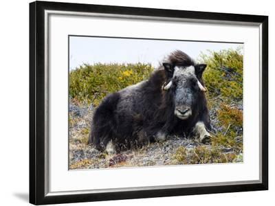 A Sub-Adult Musk Ox Resting on the Autumn Tundra-Jason Edwards-Framed Photographic Print