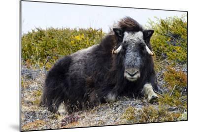 A Sub-Adult Musk Ox Resting on the Autumn Tundra-Jason Edwards-Mounted Photographic Print
