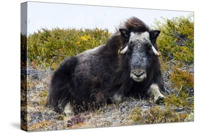 A Sub-Adult Musk Ox Resting on the Autumn Tundra-Jason Edwards-Stretched Canvas Print