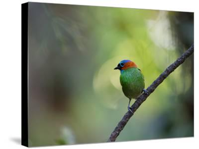 A Colorful Red-Necked Tanager, Tangara Cyanocephala, Sits on a Branch-Alex Saberi-Stretched Canvas Print